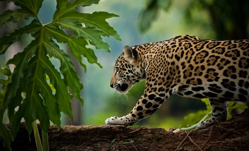 Jaguars inhabit the jungles of Belize, but they are very difficult to spot. © Shutterstock/Enrique Aguirre