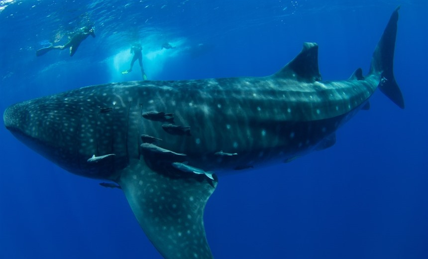 Whale sharks pass through St Helena waters between January and March