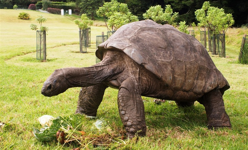Jonathan, the 187-year-old Seychelles giant tortoise