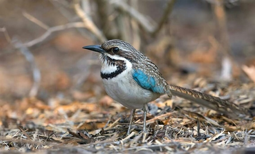 Long-tailed Ground Roller in Ifaty spiny bush. Photo by expert Malagasy guide Toky Andriamora.
