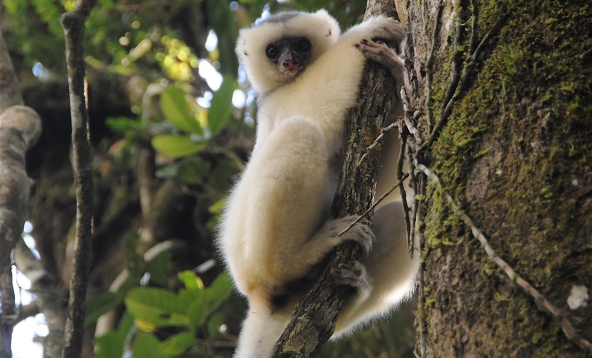 Critically Endangered, the Silky sifaka is found in Marojejy and Anjanaharibe-Sud.. Photo courtesy of Maxence Bigey.