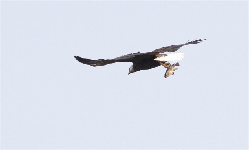 Madagascar Fish Eagle (Critically Endangered) occurs at Anjajavy and Ankarafantsika (Jan Gersag, Rainbow Tours client)