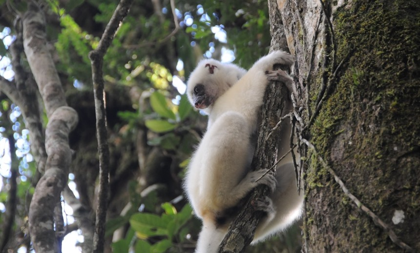 Critically Endangered Silky sifaka can be seen only in Marojejy NP and Anjanaharibe-Sud. Thanks to the sterling work of Dr Erik Patel and his dedicated team, the 'forest angels' have a better chance at survival. (Courtesy Maxence Bigey)