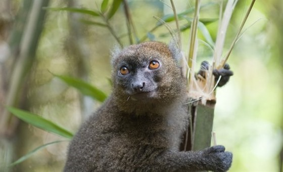 Greater Bamboo Lemur, Ranomafana National Park