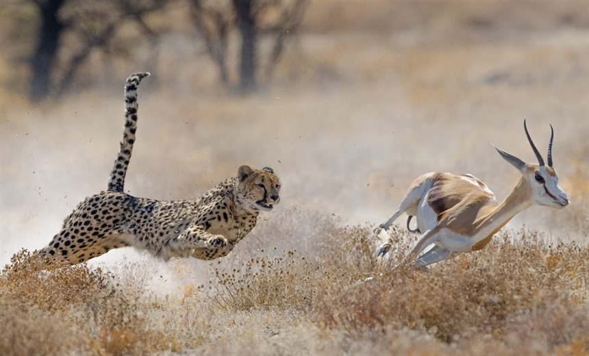 A cheetah hunts a springbok in Etosha National Park © Elana Erasmus / Shutterstock