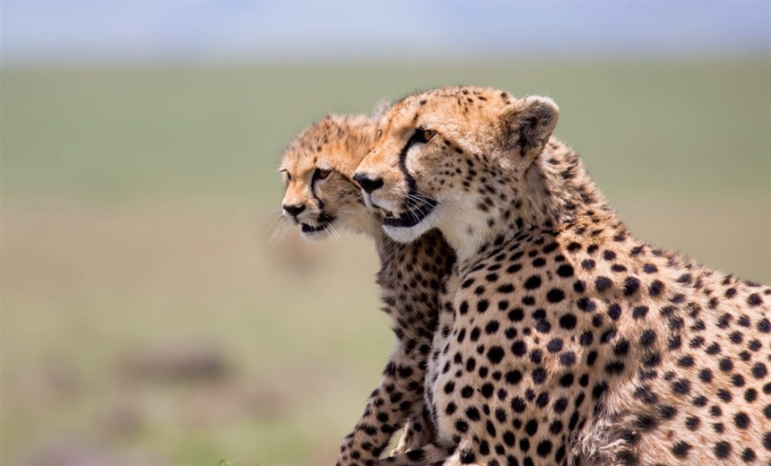 Cheetahs in the Masai Mara, Kenya