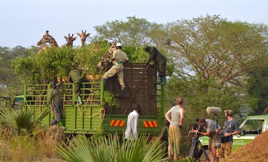 Endangered Rothschild's giraffes being relocated in Murchison Falls National Park. Photo by Craig Kaufman.