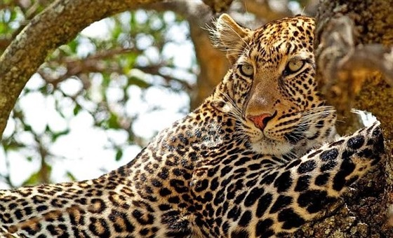 A wild leopard chilling atop the tree