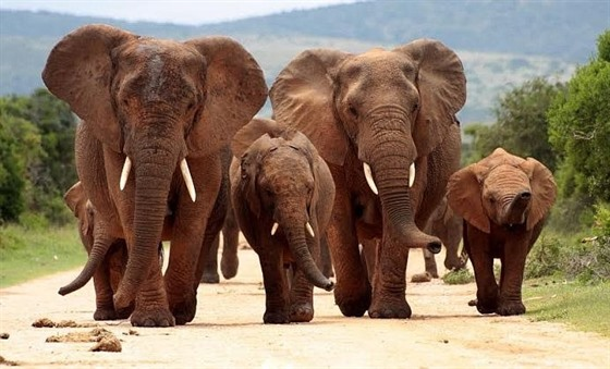 Herd of elephants marching