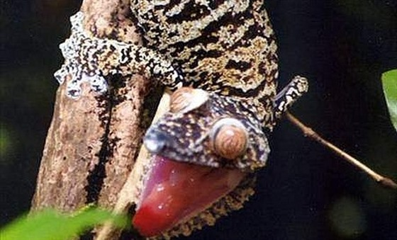 Leaftailed gecko, photograph by Rainbow Tours client Chris Gurr