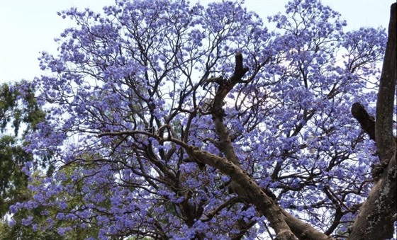 Beautiful purple Jacaranda trees