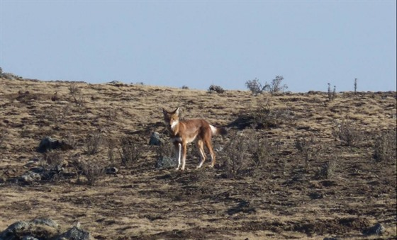 The rare Ethiopian wolf, an incredible wildlife spot