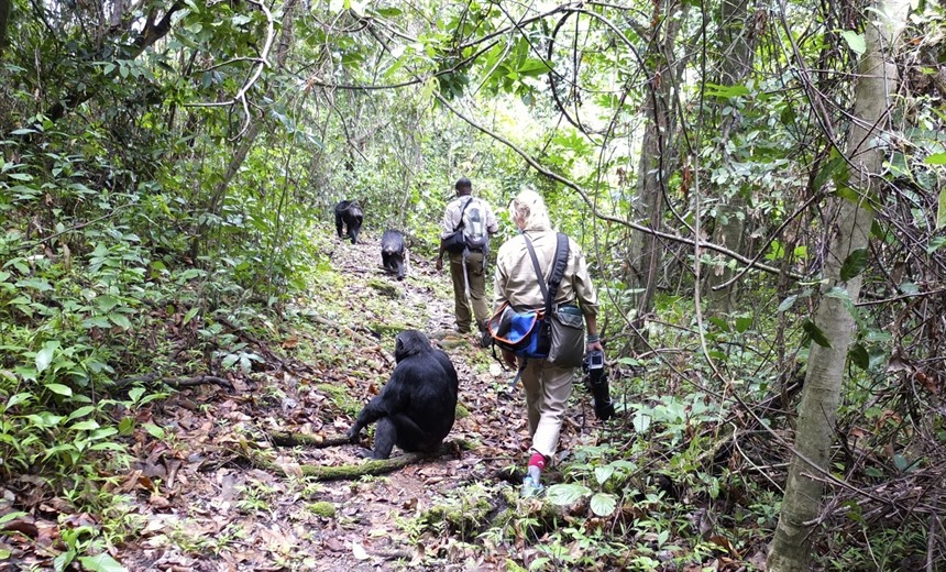 Trekking for chimpanzees in wild west Tanzania : Section 9