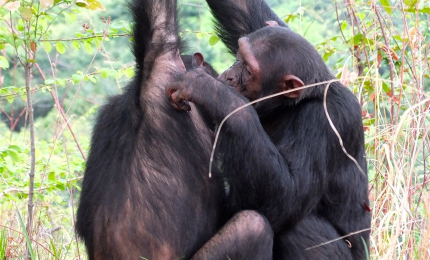 Trekking for chimpanzees in wild west Tanzania : Section 3