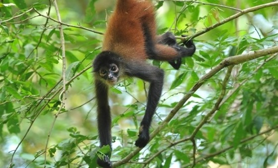 A spider monkey hangs out in Corcovado National Park