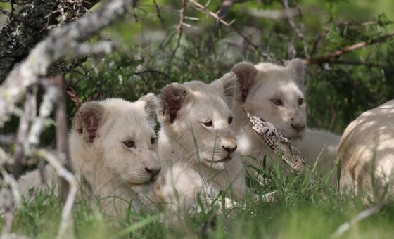 White lion cubs in Pumba Private Game Reserve