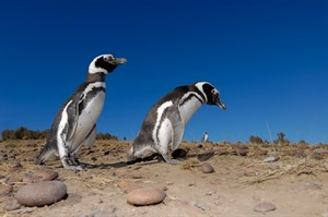 Punta Tombo, Magellanic penguins