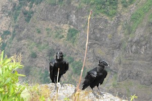 Endemic Thick-billed ravens at one of the impressive gorges (Helen)