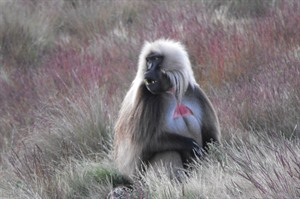 Male Gelada with its 'bleeding heart' patch and leonine mane (Helen)
