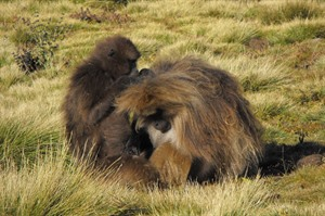 Geladas grooming each-other (Helen Kennedy)