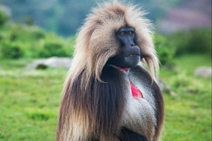 Male Gelada monkey, Simien Mountains NP