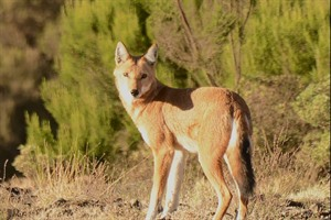 Ethiopian wolf is sometimes seen at Chennek (Courtesy Simien Lodge)