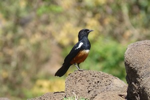 The endemic White-winged cliff chat