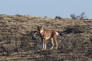 Ethiopian wolf on the hunt, Sanetti Plateau