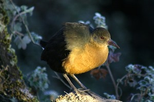 Rouget's rail is often see on Sanetti Plateau