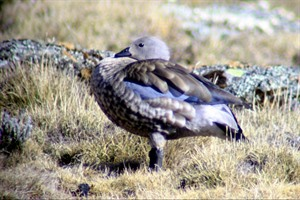 Blue-winged goose is easily seen on Sanetti Plateau, Bale