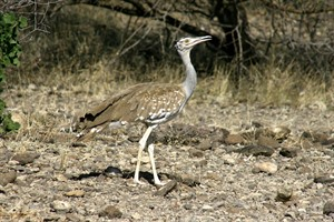 The scarce Arabian bustard is best sought in Awash NP