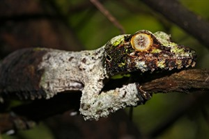 Mossy leaf-tailed gecko can be sought in Mitsinjo rainforest at night