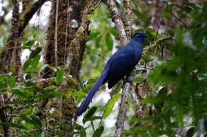 Blue coua are commonly seen in Andasibe