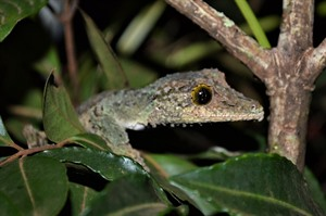 Mossy leaf-tailed gecko (Uroplatus)