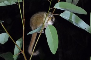 Goodman's mouse lemur (Clive Marks, 16 Sep 2018 Small group tour)