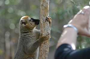Red-fronted brown lemurs are well habituated in Kirindy