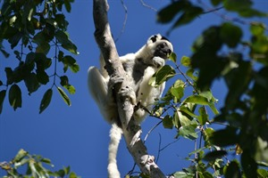 Verreaux's sifaka, Kirindy Forest