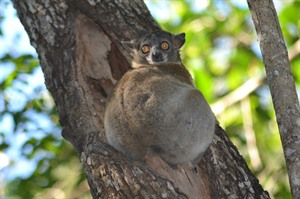 Red-tailed sportive lemur, Kirindy