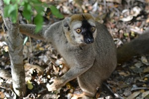 Red-fronted brown lemur, Kirindy