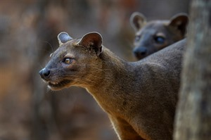Fossa sometimes hunt collaboratively. These two are at Kirindy