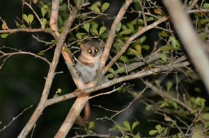 Grey mouse lemur, Kirindy Forest
