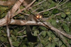 Pale fork-marked lemur, Kirindy: fast and tricky to see!.