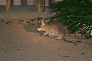 Another view of the Endangered Giant jumping rat, Kirindy