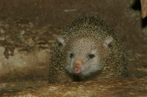 Look for Common tenrec during night walks in Ankarafantsika