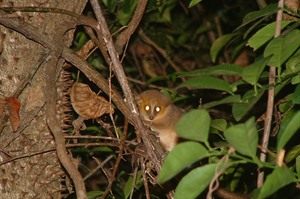 Ravelobe (Golden-brown) mouse lemur, Ankarafantsika NP