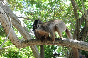 Common brown lemurs, Ankarafantsika NP (M Bigey)