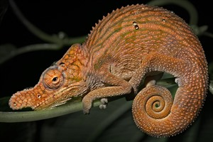 Rhinoceros chameleon can be seen in Ankarafantsika
