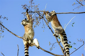 Ringtailed lemurs feeding