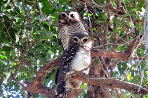 White-browed owls are easily seen at Berenty
