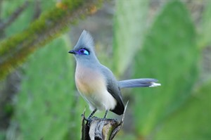 Crested coua in Berenty